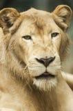 León femenino Fotos de archivo libres de regalías