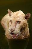 León femenino Fotografía de archivo libre de regalías