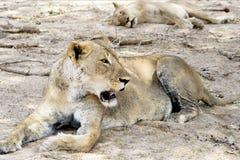León femenino Foto de archivo libre de regalías