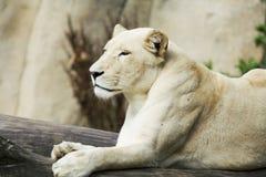 León femenino blanco fotos de archivo