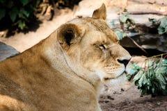 León femenino cansado Fotos de archivo libres de regalías