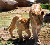 León femenino con el cachorro de león Foto de archivo