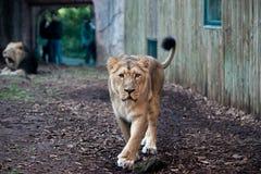 León femenino en el parque zoológico Imagen de archivo