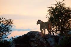 León femenino en la puesta del sol. Serengeti, Tanzania Imagen de archivo libre de regalías