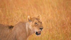 León femenino en Masai Mara almacen de metraje de vídeo