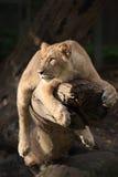 León femenino en un árbol Foto de archivo libre de regalías