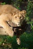 León femenino en un árbol Foto de archivo