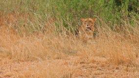 León femenino que bosteza, Masai Mara almacen de metraje de vídeo