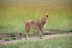 León femenino que camina a lo largo de una trayectoria que mira detrás de ella en la sabana Foto de archivo libre de regalías