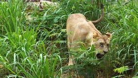 León femenino que come una hierba almacen de metraje de vídeo