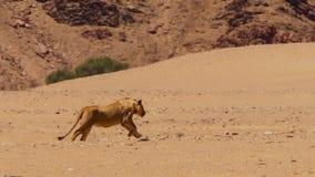 León femenino que corre en el bushveld africano, desierto de Namib, Namibia imagenes de archivo