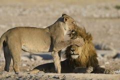 León femenino que cubre los ojos del león masculino w Fotografía de archivo libre de regalías