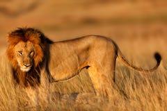 León grande en la salida del sol Foto de archivo