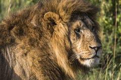 León grande que miente en hierba de la sabana foto de archivo