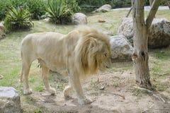 León hambriento Foto de archivo libre de regalías