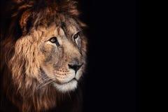 León hermoso Foto de archivo libre de regalías