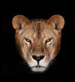 León hermoso Imagen de archivo libre de regalías