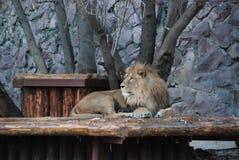 León hermoso grande en el parque zoológico de Moscú imagen de archivo