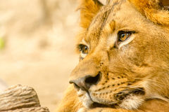 León hermoso poderoso joven Imagenes de archivo
