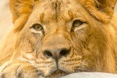 León hermoso poderoso joven Imagen de archivo