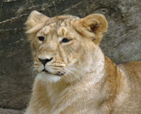 León joven Imagen de archivo