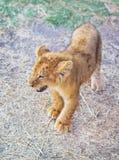 León joven Fotos de archivo