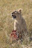 León joven Foto de archivo