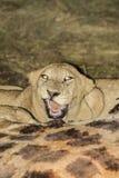 León joven con matanza. Imagenes de archivo