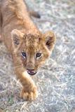 León joven curioso Fotografía de archivo