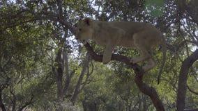 León joven en un árbol almacen de metraje de vídeo