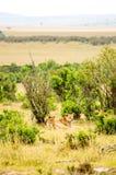 León joven ocultado en la limpieza de Maasai Mara Park en el noroeste imagen de archivo libre de regalías