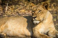 León joven que ruge en el parque nacional de Chobe en Botswana Imagenes de archivo