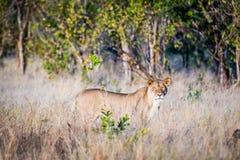 León joven que ruge en el parque nacional de Chobe en Botswana Imágenes de archivo libres de regalías