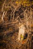 León joven que se prepara para cazar Fotografía de archivo