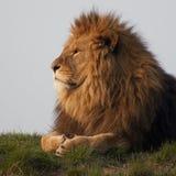 León majestuoso foto de archivo libre de regalías