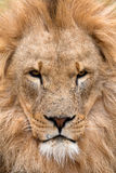 León majestuoso (Panthera leo) Imagen de archivo