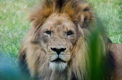 León marcado con una cicatriz que mira fijamente el espectador Foto de archivo libre de regalías