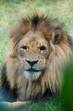 León marcado con una cicatriz que mira fijamente el espectador Fotos de archivo libres de regalías