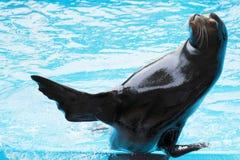 León marino Imagenes de archivo