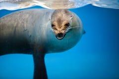 León marino Fotografía de archivo