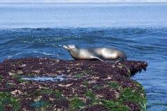 León marino Fotos de archivo libres de regalías
