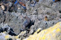 León marino curioso de Nueva Zelanda imagen de archivo libre de regalías
