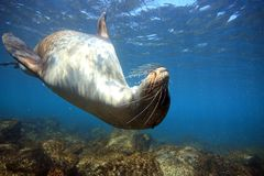 León marino curioso subacuático Fotografía de archivo