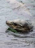 León marino de California foto de archivo