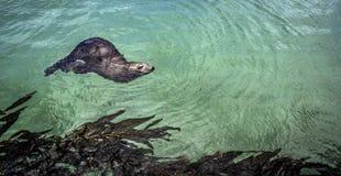 León marino de California foto de archivo libre de regalías