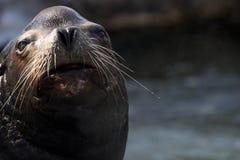 León marino de California Imagenes de archivo