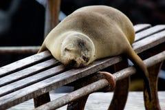 León marino de las Islas Galápagos Imagen de archivo libre de regalías