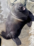 León marino de Steller Fotos de archivo libres de regalías
