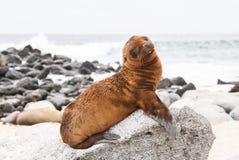 León marino del bebé Foto de archivo libre de regalías