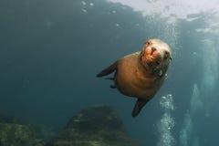 León marino del perrito subacuático mirándole Foto de archivo